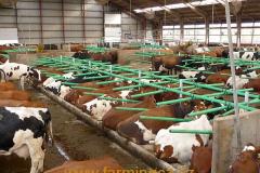 boxy-cow-welfare-green-stall-easy-v-provozu-14