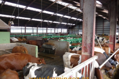 boxy-cow-welfare-green-stall-easy-v-provozu-19