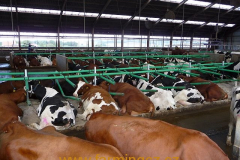 boxy-cow-welfare-green-stall-easy-v-provozu-2